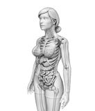Digestive system of female anatomy Royalty Free Stock Image