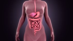 Digestive System. The digestive system is a group of organs working together to convert food into energy and basic nutrients to feed the entire body. Food passes royalty free stock images