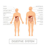 Digestive system  Royalty Free Stock Photo