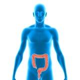 Digestive system Stock Photo