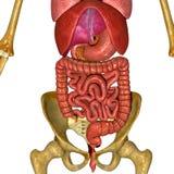 Digestive system Stock Image