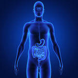 Digestive system Stock Photos