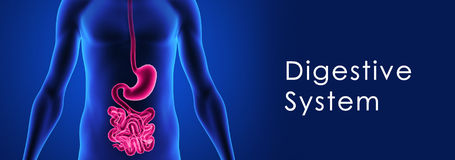Digestive system vector illustration
