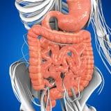 Digestive system Royalty Free Stock Photos