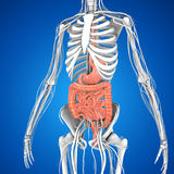 Digestive system Royalty Free Stock Image