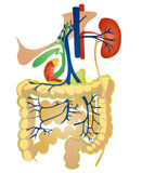 Digestive system Stock Image