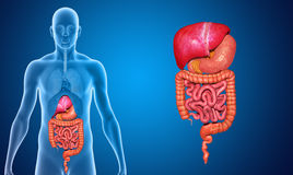 Digestive system without lungs Royalty Free Stock Image