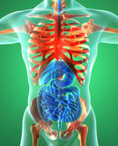 Digestive system, lungs, skeleton, x-ray Stock Image