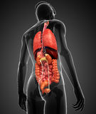 Digestive system of male body Royalty Free Stock Photos