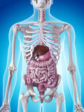 The digestive system Royalty Free Stock Image