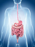 The digestive system Stock Photos