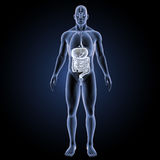 Digestive system with organs anterior view Royalty Free Stock Photo