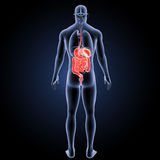 Digestive system with organs posterior view Royalty Free Stock Image