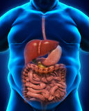Digestive System of Overweight Body Royalty Free Stock Image