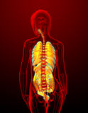 Digestive system and respiratory system Stock Photography