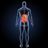 Digestive system with skeleton posterior view Royalty Free Stock Photography