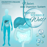 Digestive System Stock Photography