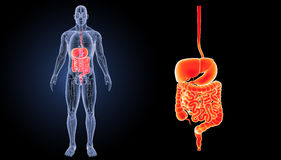 Digestive System Zoom With Anatomy Anterior View Royalty Free Stock Photography