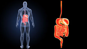 Digestive System Zoom With Anatomy Posterior View Stock Image
