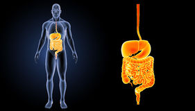 Digestive System Zoom With Organs Anterior View Stock Photos