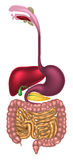 Digestive Tract Alimentary Canal Royalty Free Stock Photography