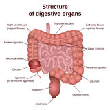 Digestive tract image intestine Stock Image