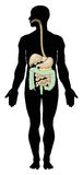 digestivkexsystem Royaltyfri Fotografi