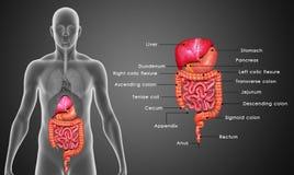Digestivkexsystem royaltyfri illustrationer