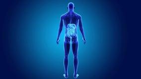 Digestivkexsystem med den skelett- kroppen royaltyfri illustrationer