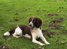 digger σκυλί Στοκ Φωτογραφία