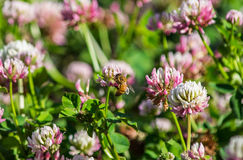 Digger Bee on Alsike Clover Flower Closer. A digger bee feeding on the nectar of an alsike clover flower stock photos
