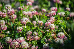 Digger Bee on Alsike Clover Flower Royalty Free Stock Images