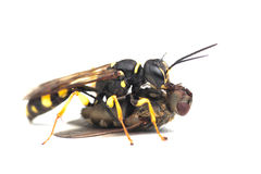 Digger Field Wasp with prey. This Digger Field Wasp is attacking a prey Royalty Free Stock Image