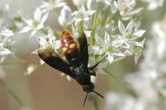 Digger wasp. A digger wasp forages in Missouri Royalty Free Stock Photo