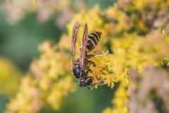 Digger-wasp Stock Photo