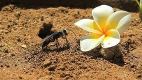 Digger Wasp negro con el Frangipani almacen de metraje de vídeo