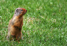 Digging. Cute ground squirrel that's just been digging stock photos