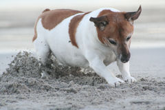 Digging on the beach. A happy looking Jack Russel terrier digging on the beach looking for his toy Royalty Free Stock Photo