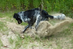 Digging. A black and white spotted dog digging in the sand Royalty Free Stock Images