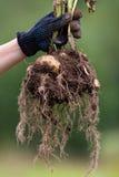 digging bush potato in hand Royalty Free Stock Photos