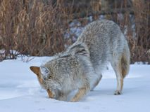 Digging Coyote. A coyote hunts for mice in mid-winter stock photo