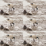 Digging deep sequence. Sequence of six frames of Australian white ibis digging deep his bill in sand on swamp lifting one leg and reverse Royalty Free Stock Photos