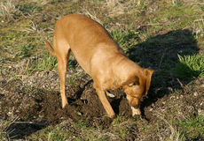 Digging dog Stock Photo