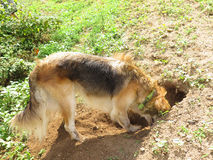 Digging dog Stock Images