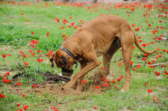 Digging dog,  thrust the head into a hole Royalty Free Stock Photos