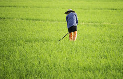 Digging farmer in the rice field Royalty Free Stock Image