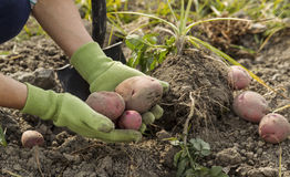 Digging Fresh Red Potatoes from Ground Stock Photography