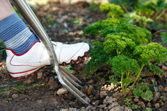 Digging in garden Stock Photography