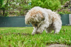 Digging maltese shih tzu mixed dog stock image