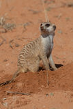 Digging meerkat Royalty Free Stock Image